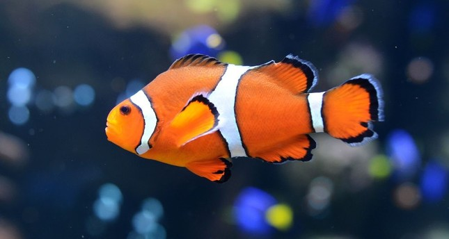 Reason Why Are People Fascinated By African Cichlids